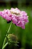 scabiosa тумана розовое Стоковые Изображения