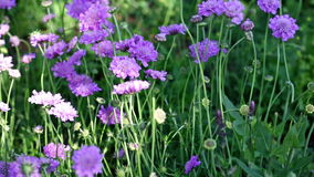 Scabiosa stock video footage