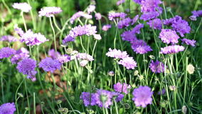 Scabiosa. Blooming purple flowers in the summer garden stock video