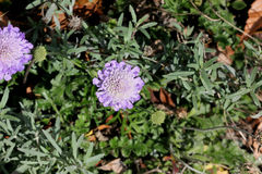 Free Scabiosa Columbaria, Butterfly Blue Royalty Free Stock Photos - 82644658
