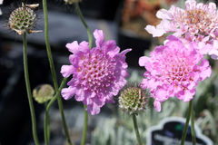 Scabiosa columbaria `Flutter Rose Pink`. Dwarf Pincushion Flower with larger and deeper pink flowers, blooms continuining from spring to late summer, suitable Stock Image