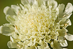 Scabiosa flower Royalty Free Stock Image
