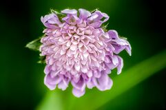Scabiosa flower Royalty Free Stock Photo