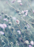 Scabiosa Royalty Free Stock Photo