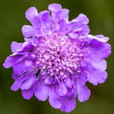 Scabiosa fully flowering, attracts insects. Scabiosa is a genus in the honeysuckle family Caprifoliaceae of flowering plants stock photo