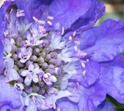 Scabiosa kwiat Fotografia Royalty Free