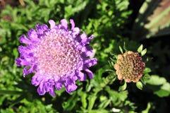 Scabiosa o flor de acerico fotografía de archivo