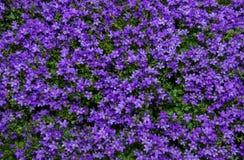 Scabiosa púrpura de la flor Imágenes de archivo libres de regalías