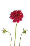 Scabiosa Royalty Free Stock Photography