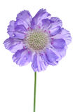 Scabiosa Stock Photography