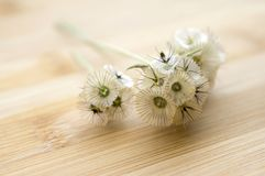 Scabiosa stellata, honeysuckle, starflower pincushions ornamental dried flower. On wooden table stock photography