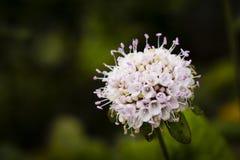 Scabiosasiamensis op Chiang Dao Wildlife Reserve-gebied Royalty-vrije Stock Afbeelding