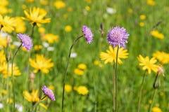 Scabious λουλούδι τομέων που ανθίζει στο λιβάδι που περιβάλλεται από oth Στοκ φωτογραφίες με δικαίωμα ελεύθερης χρήσης