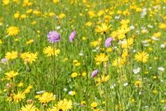 Scabious λουλούδι τομέων που ανθίζει στο κιτρινοπράσινο λιβάδι surr Στοκ Εικόνα