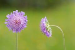 Scabious λουλούδι τομέων που ανθίζει στο πράσινο με το θολωμένο meado Στοκ φωτογραφίες με δικαίωμα ελεύθερης χρήσης
