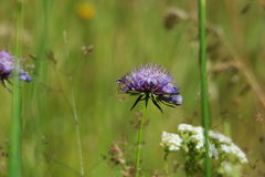 Scabious Royalty Free Stock Photo