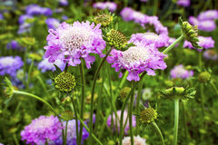 Scabious. Royalty Free Stock Photos