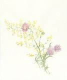 Scabious watercolor painting vector illustration