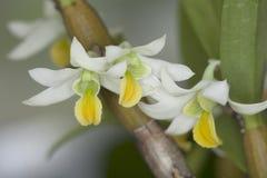 Scabrilingue Lindl del Dendrobium. Fotografie Stock Libere da Diritti