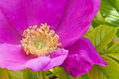 Scabrosa rose Stock Photo