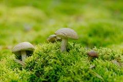 Scabrum Boletaceaeis лекцинума съестной гриб в мхе Стоковые Изображения