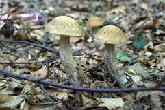 Scabrum del Leccinum con un sombrero marrón Foto de archivo libre de regalías