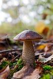 Scabrum del Leccinum del boletus del fungo Fotografia Stock Libera da Diritti
