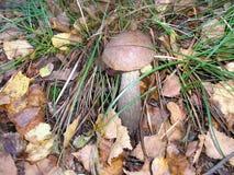 Scabrum del Leccinum del fungo fotografia stock