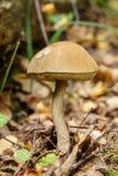 Scabrum Leccinum Στοκ φωτογραφία με δικαίωμα ελεύθερης χρήσης