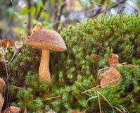 Scabrum van Leccinum van de berkpaddestoel groeit in het bos onder het mos royalty-vrije stock afbeeldingen