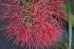 Scadoxus - bloedbloem, poederdonsje lilly stock afbeeldingen
