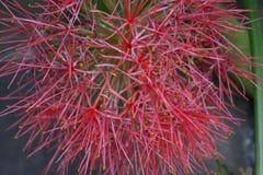 Scadoxus - bloedbloem, poederdonsje lilly royalty-vrije stock foto