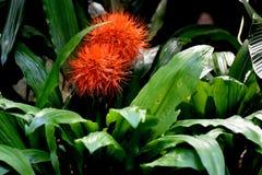 Scadoxus, eldkulalilja eller blodlilja, storslaget kulör flo Royaltyfria Bilder