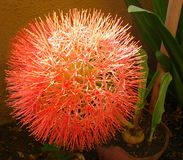 Scadoxus Multiflorus Haemanthus Multiflorus, λουλούδι κρίνων αίματος Στοκ εικόνες με δικαίωμα ελεύθερης χρήσης