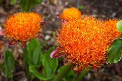 Scadoxus-puniceus orange Blutlilienblume Malerpinsel Lilium Stockfotografie