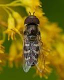 Scaeva pyrastri fly. Scaeva pyrastri sitting on a yellow flower in closeup Stock Photography