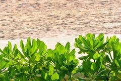 Scaevola在海滩附近的Taccada灌木 免版税库存照片