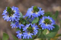 Scaevola azul Fotografía de archivo