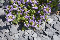 Scaevola purple flowers royalty free stock images