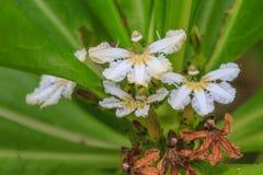 Scaevola sericea flower Royalty Free Stock Images