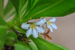 Scaevola sericea flower Royalty Free Stock Photos