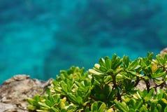 Scaevola sericea. One of beach plant stock photos