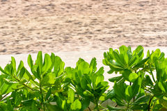Scaevola Taccada Krzak Blisko plaży Zdjęcie Royalty Free