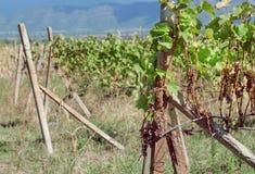 Scaffali con i rami della vite e l'uva matura in valle soleggiata Area del ` s dell'agricoltore con le vigne Fotografia Stock Libera da Diritti