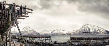Scaffali del pesce sul Lofoten Fotografie Stock Libere da Diritti