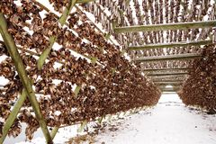 Scaffali di legno sulla riviera per l'essiccamento del merluzzo nell'inverno Paesino di pescatori di Reine, isole di Lofoten immagine stock