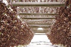 Scaffali di legno sulla riviera per l'essiccamento del merluzzo nell'inverno Paesino di pescatori di Reine, isole di Lofoten immagine stock libera da diritti