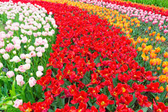 Scagit Valley Tulip Festival in Washington. Rainbow colored field filled with Tulips. Top view of red tulips with open petals. Scagit Valley Tulip Festival in royalty free stock photos