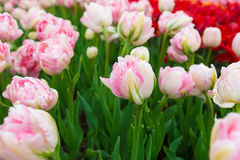 Scagitvallei Tulip Festival in Washington royalty-vrije stock afbeelding