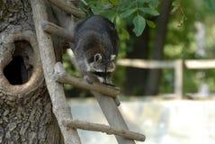Scala del Raccoon Fotografie Stock Libere da Diritti